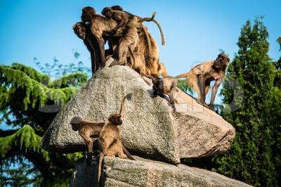 monkeys on a rock Stock Photo
