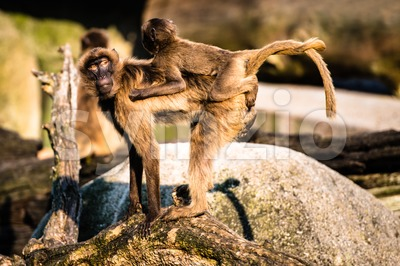mother and baby baboon Stock Photo