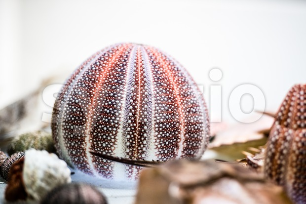 dried sea urchin Stock Photo