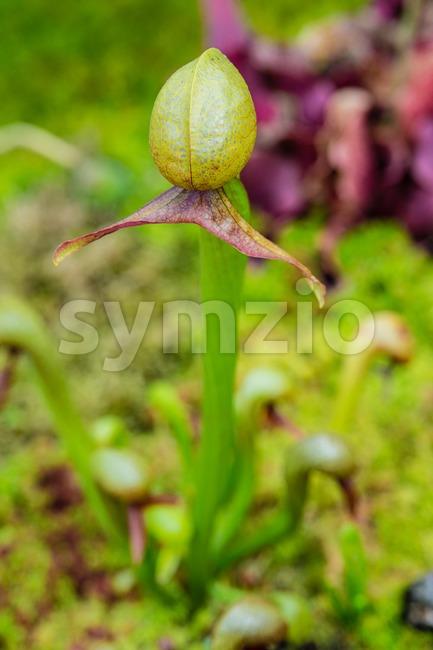 Cobra lily (Pitcher plant) Stock Photo