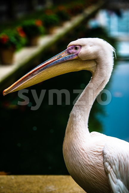 Pink pelican head Stock Photo