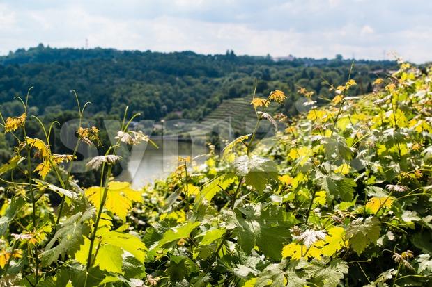 Vineyards in Stuttart - Bad Cannstatt: Very steep hills along river Neckar in the background