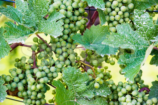 Green grapes in a wine yard in Stuttgart Bad Cannstatt in bright summer light, not yet ripe