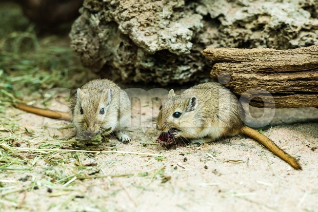 Two gerbils Stock Photo