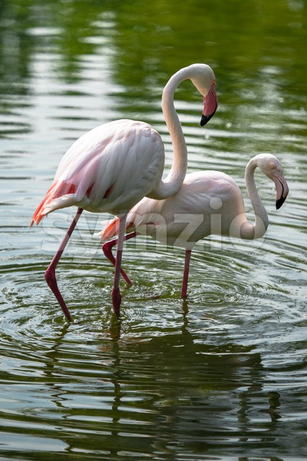 Flamingo Couple Stock Photo