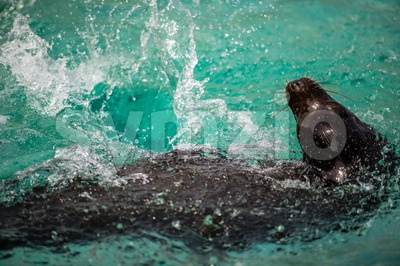 Sea lion (seal) in water Stock Photo