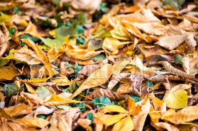 Autumn Chestnut Leaves Stock Photo