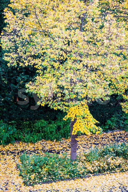 autumn tree with falling leaves Stock Photo