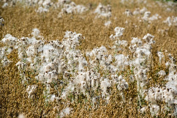 Flowering cotton grass Stock Photo