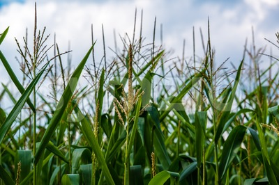 corn cob on a field in summer Stock Photo