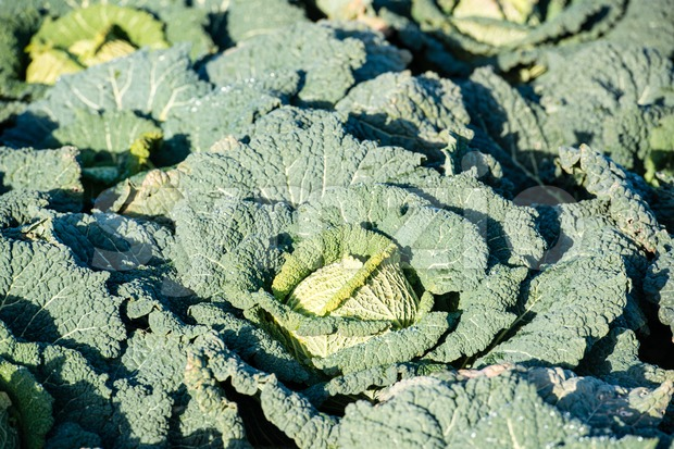 cabbage on a field Stock Photo