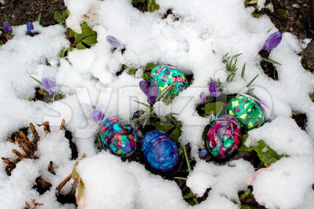 Colorful Easter eggs in snowy garden with crocuses