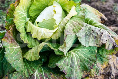 frozen cabbage Stock Photo