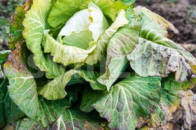frozen cabbage Stock Photo