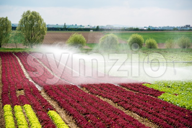 watering lettuce fields Stock Photo