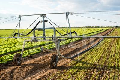 irrigation on lettuce fields Stock Photo