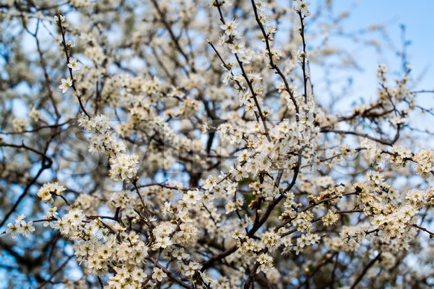 White cherry blossom against great blue sky in spring