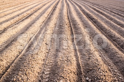 freshly planted potatoes Stock Photo