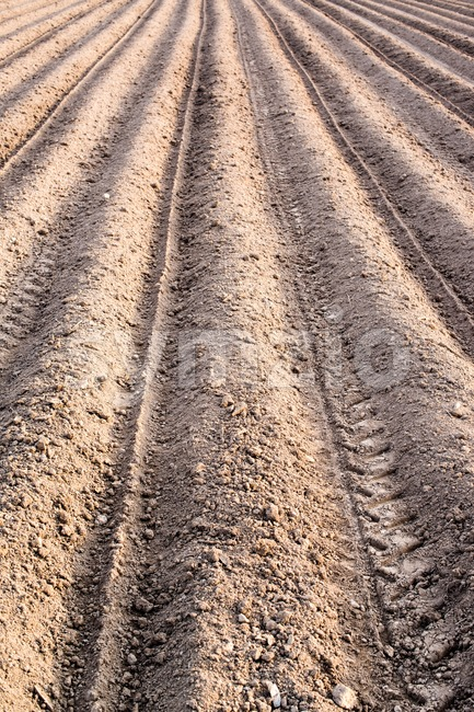 new beginning. A fresh, seed-cane growing in the plantation field. Stock Photo