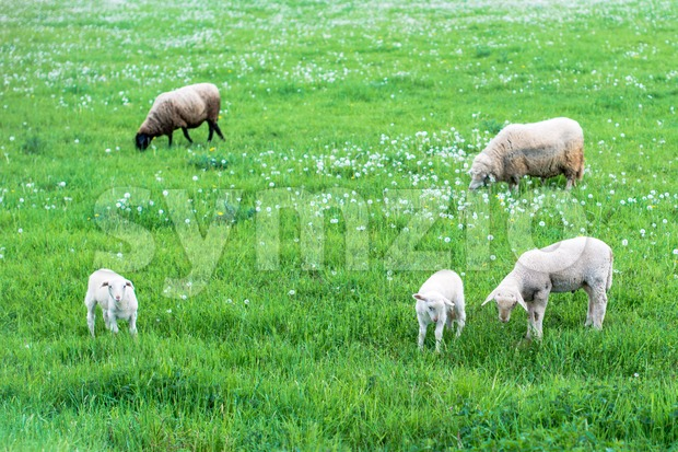 Cute sheep herd at green summer field full of dandelions