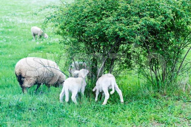 Cute sheep herd at green summer grazing from a shrub