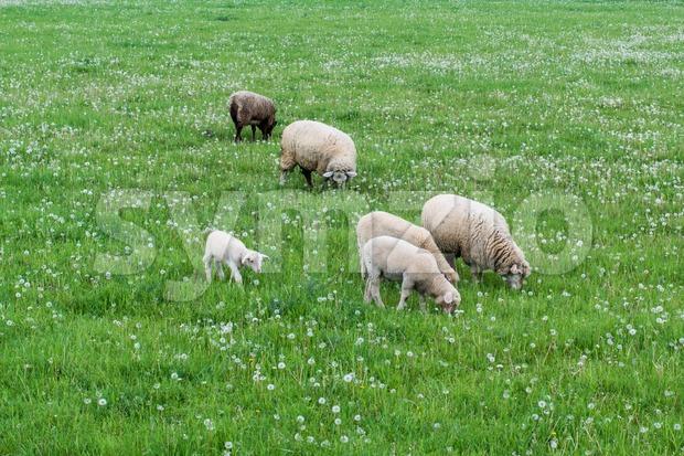 cute sheep family Stock Photo