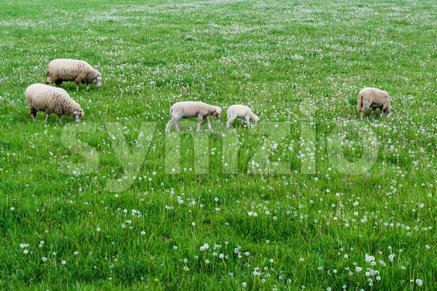Cute sheep herd at green summer field full of dandelions