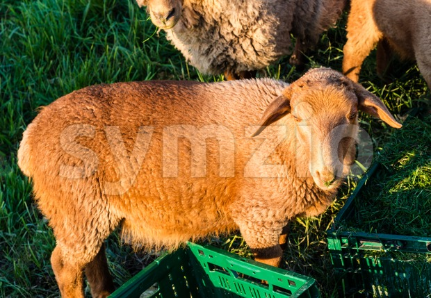 Sheeps being fed Stock Photo