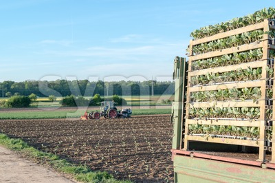 Agriculture - tractor sowing salad Stock Photo