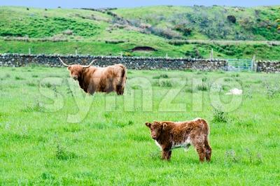 Scottish Highland Cattle Stock Photo