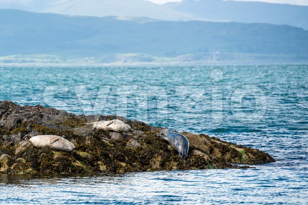 Sea Lions or Seals Stock Photo