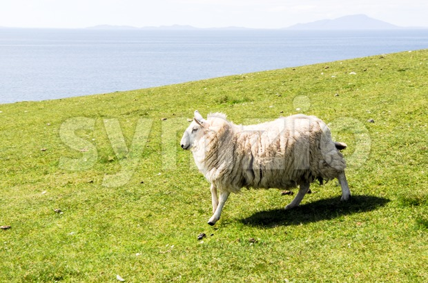Lamb running quickly over a green field Stock Photo