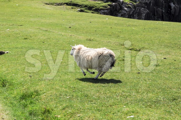 Lamb running quickly over a green field along the coast on the Isle of Skye in Scotland