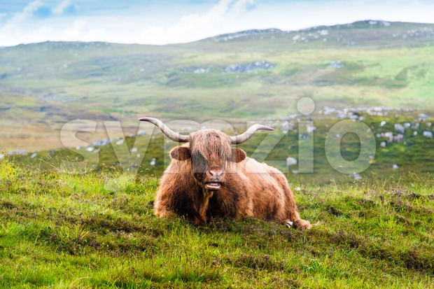 A resting Scottish Highland cow in the fields with typical landscape in the background