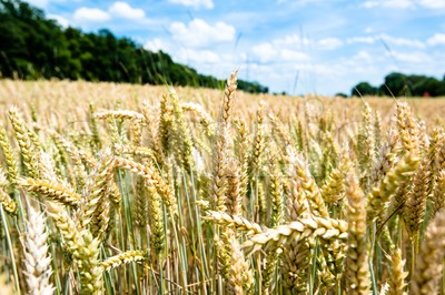 Fresh wheat Stock Photo