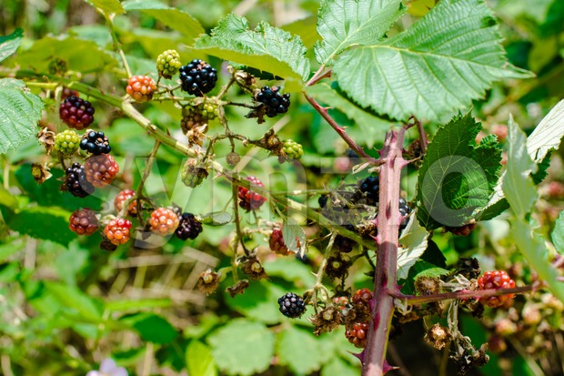 Branch with red and black riping wild blackberries in summer sun