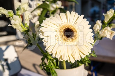 White daisy flower - gerbera Stock Photo