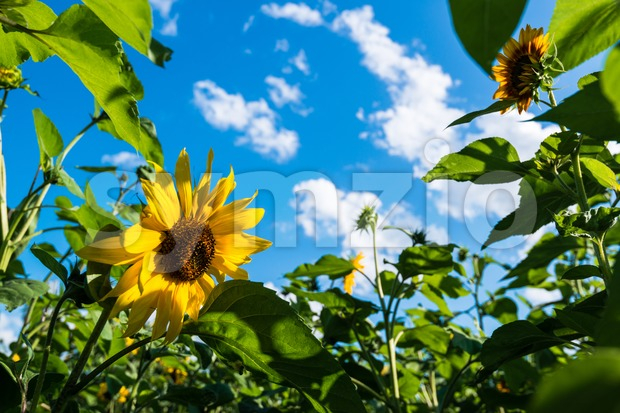 Sunflower field over cloudy blue sky and sunlight in late summer