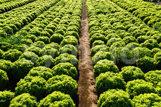Rows of salad Stock Photo
