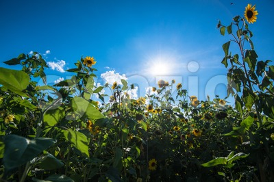 sunflower field with great sun Stock Photo
