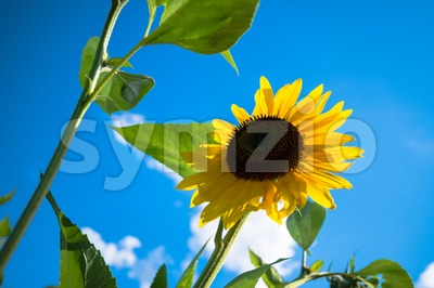 sunflower over cloudy blue sky Stock Photo