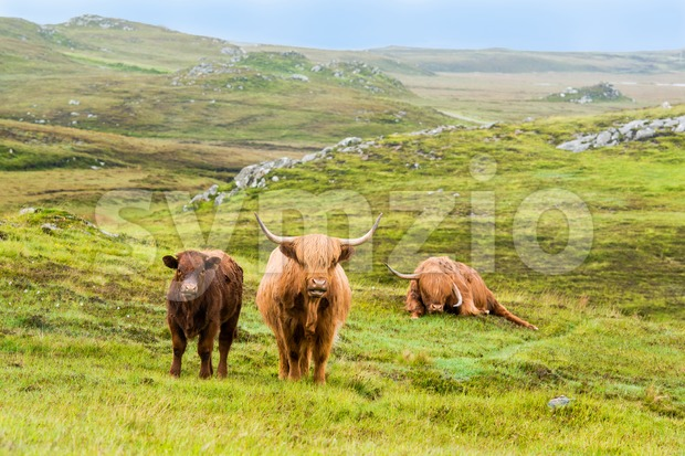 Scottish Highland Cows in the fields during rain with typical Scottish landscape in the background