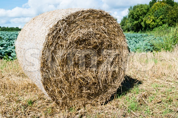 Freshly rolled hay bales on the field after harvesting