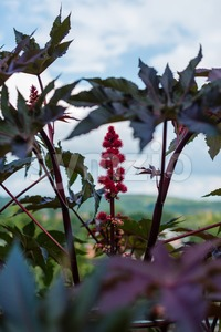 Castor oil plant Stock Photo
