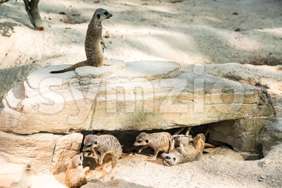 Meerkats toying around Stock Photo