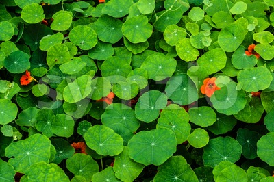 Nasturtium flowers Stock Photo