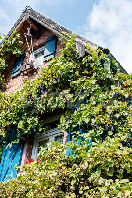 Old house with wine plants Stock Photo