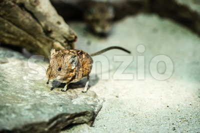 Short-eared elephant-shrew Stock Photo