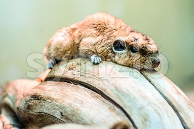 Gundi or comb rat Stock Photo