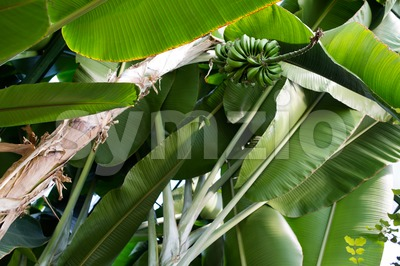 Green bananas on a tree Stock Photo